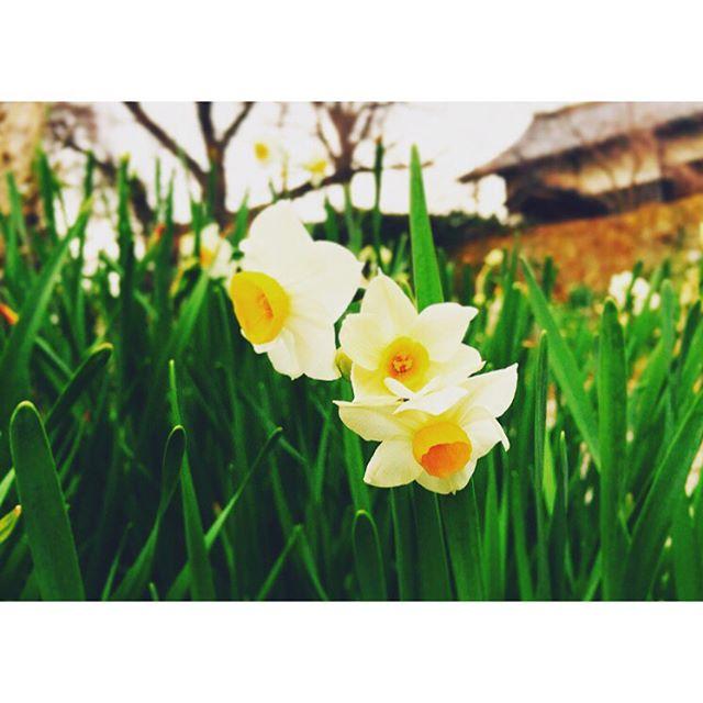 冬ノ花連日の寒さが堪えますが先日、コスモスで有名な奈良の般若寺に行ってきました。今の時期は水仙や椿が綺麗に咲いています。水仙の良い香りが漂い、とても癒されました。重要文化財である文珠菩薩にも西大寺展以来に目にすることが出来て嬉しくなりました! #水仙#椿#花#般若寺#奈良#flower#hannyaji#nara#一隅を照らす#照terasu @sa10ca.k http://terasu-seiho.com/#彫刻#sculpture#日本画#japanesepainting#截金#kirikane#cutgoldleafing#伝統#traditional#仏教美術#buddhistart#family#japan#japanesestories#art_we_inspire#芸術#美術